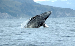 gray whales on la whale watching